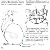 Manual for a microsugrical procedure on the rat.  Technique: Ink combined with vectorgraphics
